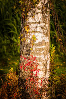 Birch tree trunk in autumn sun covered with red plants