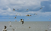 A flock of Black-headed gull (Chroicocephalus ridibundus) flying above the North Sea, Germany