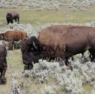 yellowstone national park wildlife buffalo