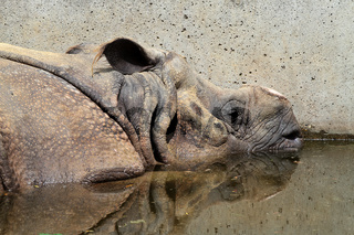 The Indian Rhinoceros, Rhinoceros unicornis aka Greater One-horned Rhinoceros