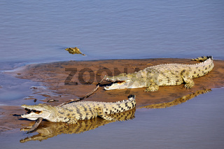 Nilkrokodile im South Luangwa Nationalpark, Sambia, (Crocodylus niloticus)    nile crocodiles at South Luangwa National Park, Zambia, (Crocodylus niloticus)
