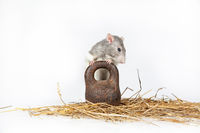 Rat And Weight