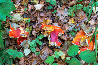 mushrooms on fallen leaves, Russula mushrooms red