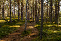 Track through a norwegian pine forest