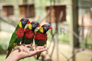 Three lory parrots in hand