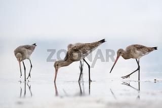 feeding black tailed godwits