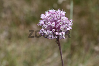 Ackerlauch, Allium Ampeloprasum