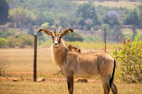 Roan Antelopes Standing in Fenced Area, Swaziland