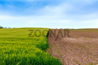 Green fields of wheat