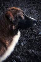 low key portrait of a focussed guard dog