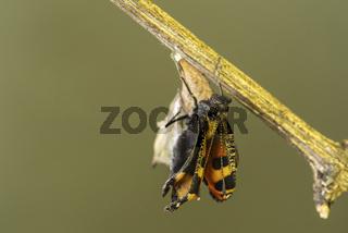 Schmetterlingsschlupf, Kleiner Fuchs (Aglais urticae), Schweiz