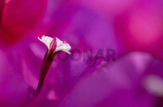 Bougainvillea single stamen close-up on purple flower