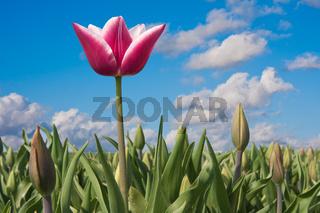 First Dutch tulip in springtime