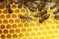 some honey bees on a beeswax