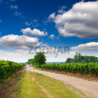 vineyard landscape in Hungary