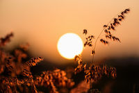 Sun at sunset in field flower grass