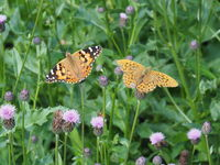 Silver-washed Fritillary and painted lady