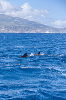 Two Bottle-nosed Dolphins in front of Coast of Sao Miguel, Azores