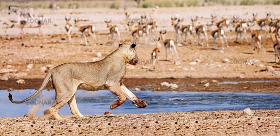 hunting lion, Etosha National Park, Namibia, (Panthera leo)