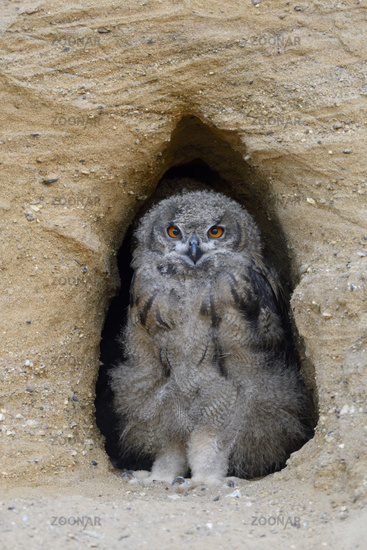 Eurasian Eagle Owl * Bubo bubo *, young chick, in the entrance of its nest burrow