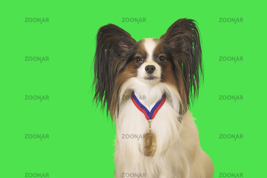Beautiful dog Papillon with medal for first place on the neck on green background