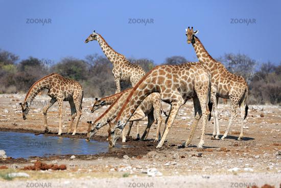 A giraffe herd at the water hole klein Namutoni in the Etosha Nationalpark in Namib