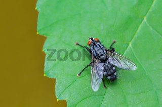 Blue fly sits on green grape leaf