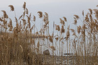 Misty gday on Lake Maggiore, Italy overlooking lake and reeds