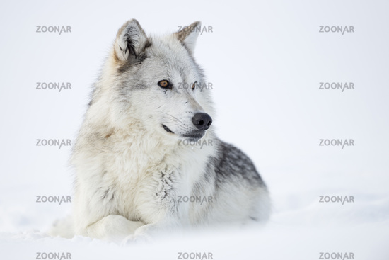Gray Wolf * Canis lupus * in winter, resting in snow
