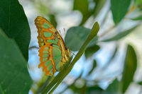 Tropical exotic Malachite butterfly or Siproeta stelenes