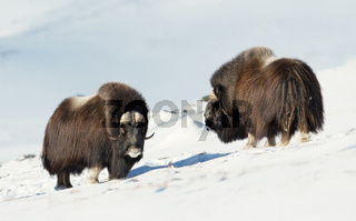 Two male Musk Oxen standing in snowy mountains