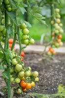 Gradually ripening tomatoes in the field