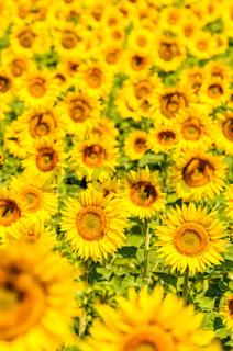 Sunflower field, Provence, France, shallow focus