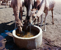 Portrait of drinking camels at the desert well in Ouled-Rachid, Batha, Chad