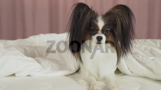 Beautiful dog Papillon lies under blanket on the bed and looks around