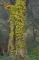 Tree with Ivy Plants in Urdenbacher Kaempe Nature reserve in Duesseldorf,Germany