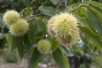 Chestnuts on the tree in autumn
