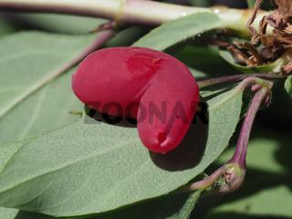 Lonicera purpusii Frucht