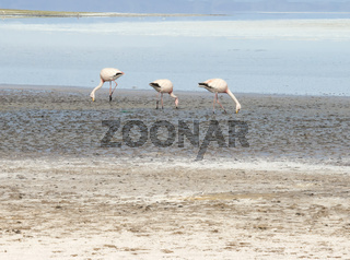 Pink Flamingos In Salty Shallow Lagoon, Salar De Uyuni, Bolivia