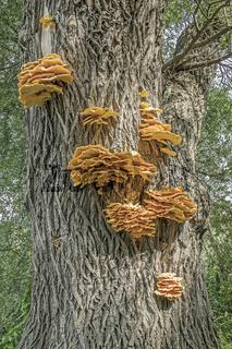 Gemeiner Schwefelporling 'Laetiporus sulphureus'