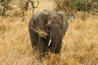 eating elephant in savanna grass