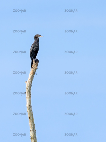 Little Cormorant or Microcarbo niger birds