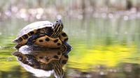 Turtle (pseudemys peninsularis)