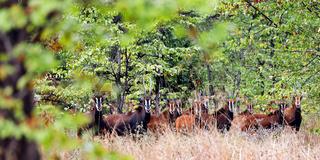 Saebelantilopen, versteckt im Wald, Majete Wildlife Reserve, Malawi, (Hippotragus niger),   Sable antelopes, Majete Wildlife Reserve, Malawi, (Hippotragus niger)