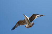 Seagull flying in the blue sky ower the Bosphorus in İstanbul. Seagull flying on the blue sky