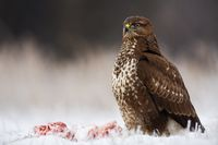 Wild bird of prey sitting proudly with a kill nearby in winter.