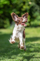 Young springer spaniel jumping for joy with flying ears
