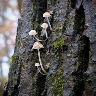 Helmlinge (Mycena) auf einem toten Baumstamm