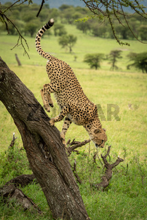Male cheetah about to jump from tree