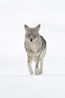 Coyote * Canis latrans *, walking on snow, frontal shot